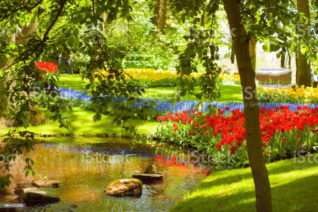 Um canteiro de flores com tulipas de diferentes cores, a grama verde e um lago. Parque com flores Keukenhof na primavera. Holland. Plano de fundo - Foto de stock de Amarelo royalty-free