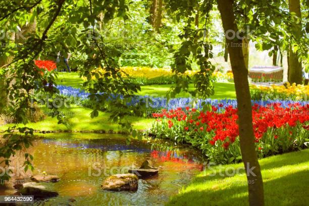 Foto de Um Canteiro De Flores Com Tulipas De Diferentes Cores A Grama Verde E Um Lago Parque Com Flores Keukenhof Na Primavera Holland Plano De Fundo e mais fotos de stock de Amarelo