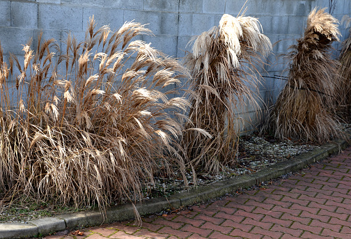 flower beds with ornamental grasses are attractive from autumn to winter and thanks to dry flowers and leaves. combined with flycatchers and red leaves, next to gray concrete block wall
