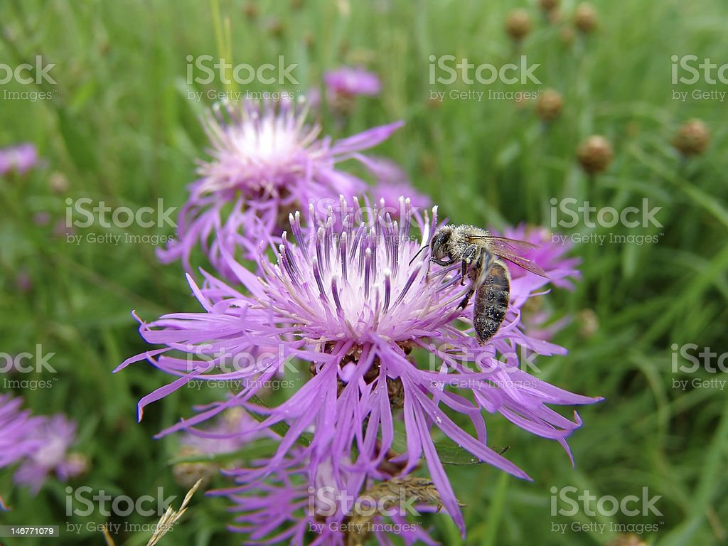 Flower Bee stock photo