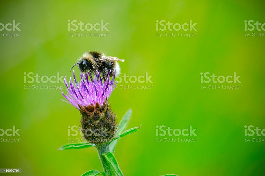 Flower Bee royalty-free stock photo