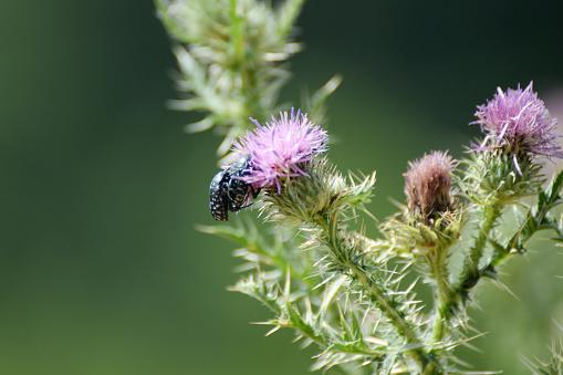 Tropinota hirta mating on wildflower