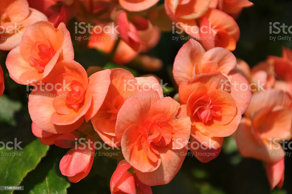 Flower - Begonia stock photo
