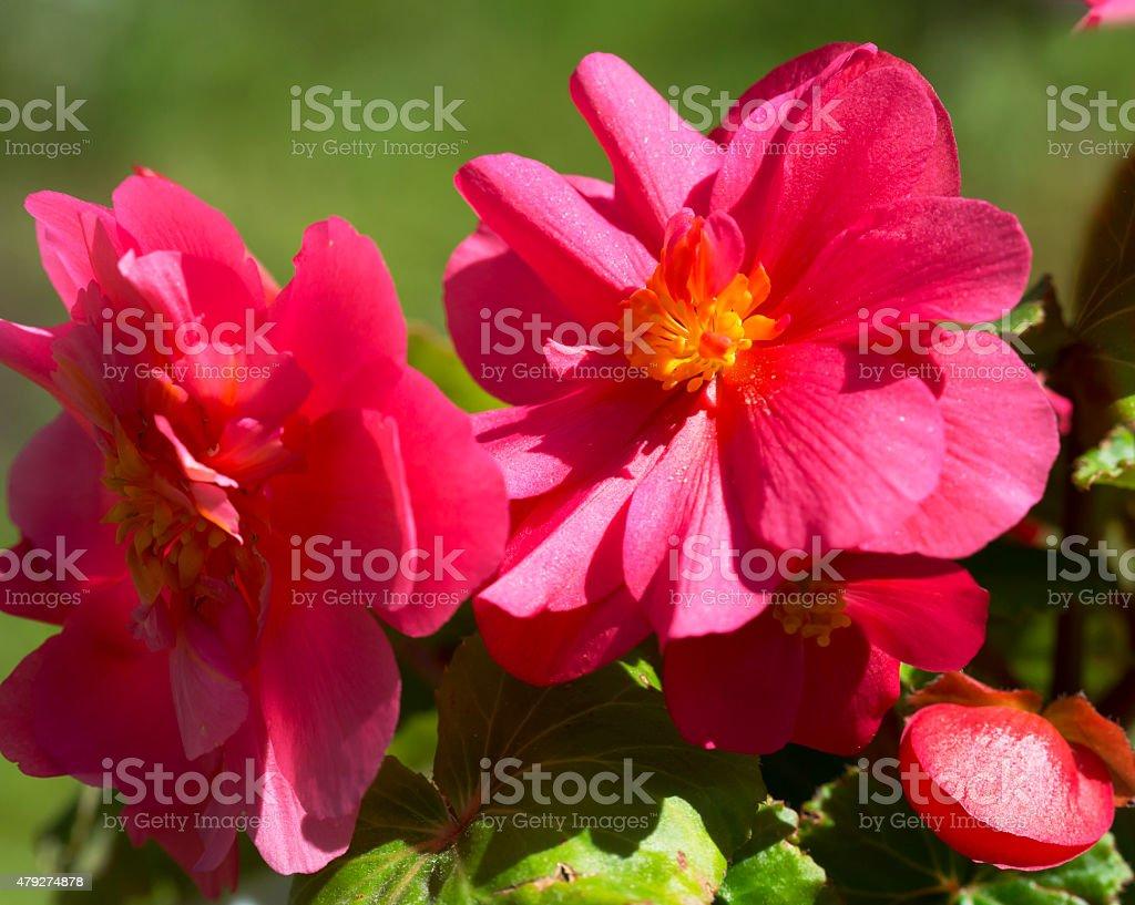 Flower begonia tuberous. stock photo