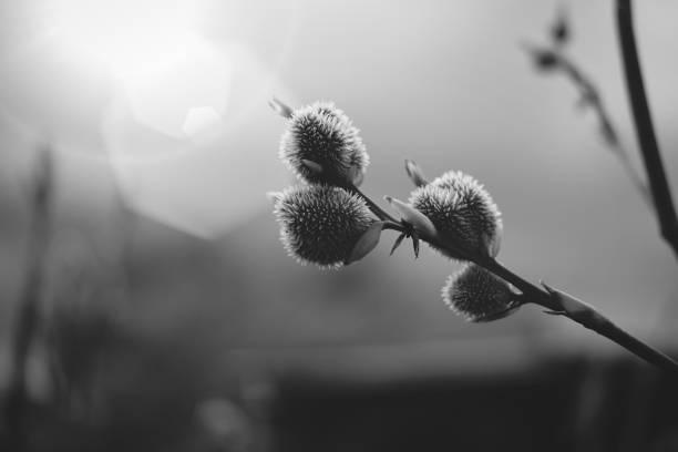 Flor preto e branco - foto de acervo