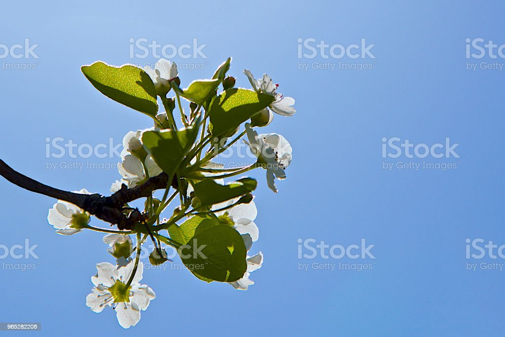 flower bloom in spring time royalty-free stock photo