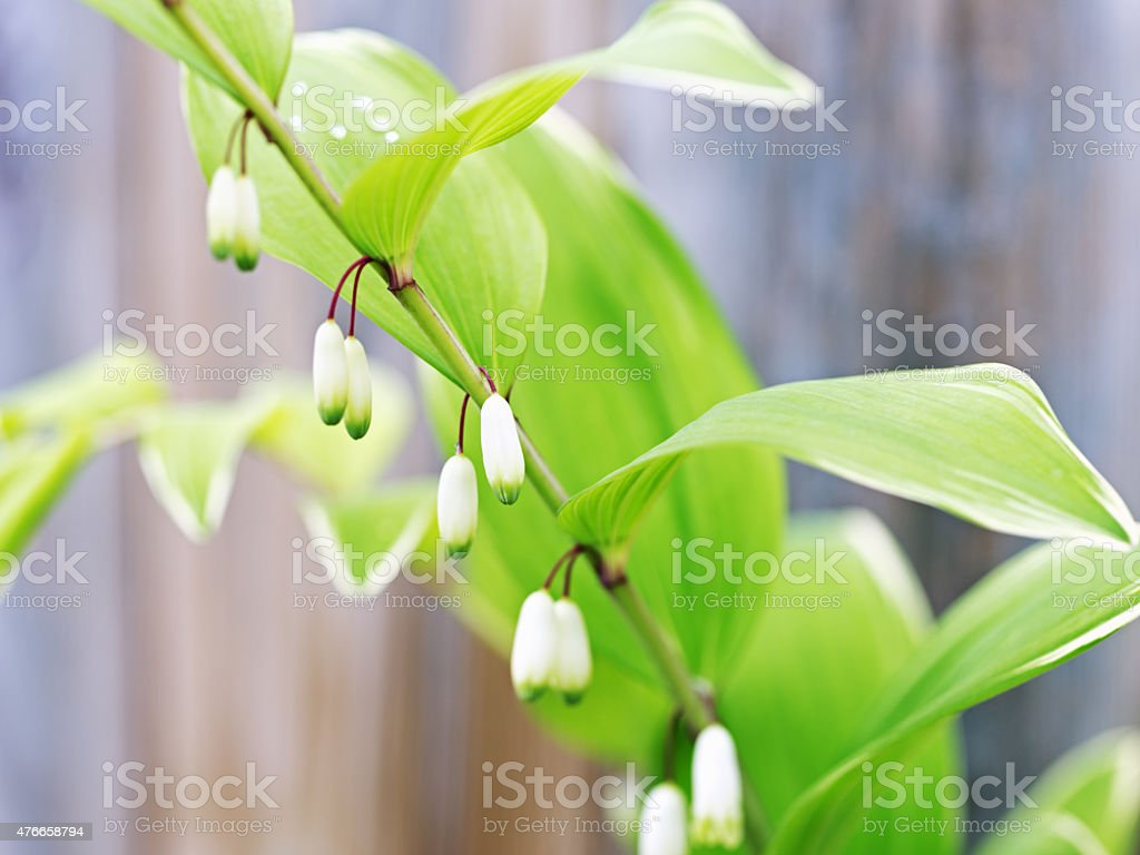 Flower Blossoms and Leaves on Varigated Solomon's Seal Polygonat stock photo
