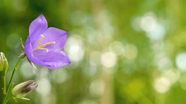 Blume Blaue Campanula am Waldrand. Schöne wilde Blume Nahaufnahme mit Kopierraum – Foto