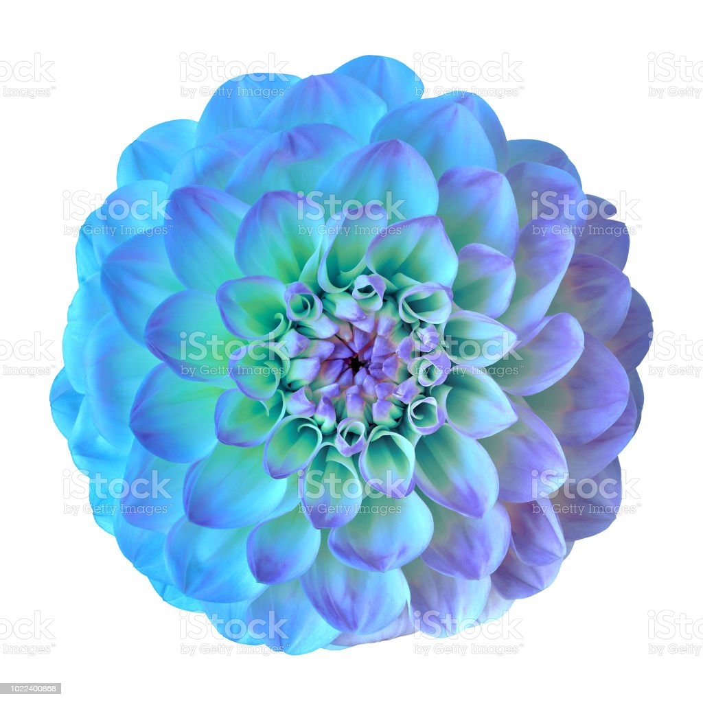 flower blue cyan lilac dahlia isolated on white background. Close-up. Element of design. stock photo