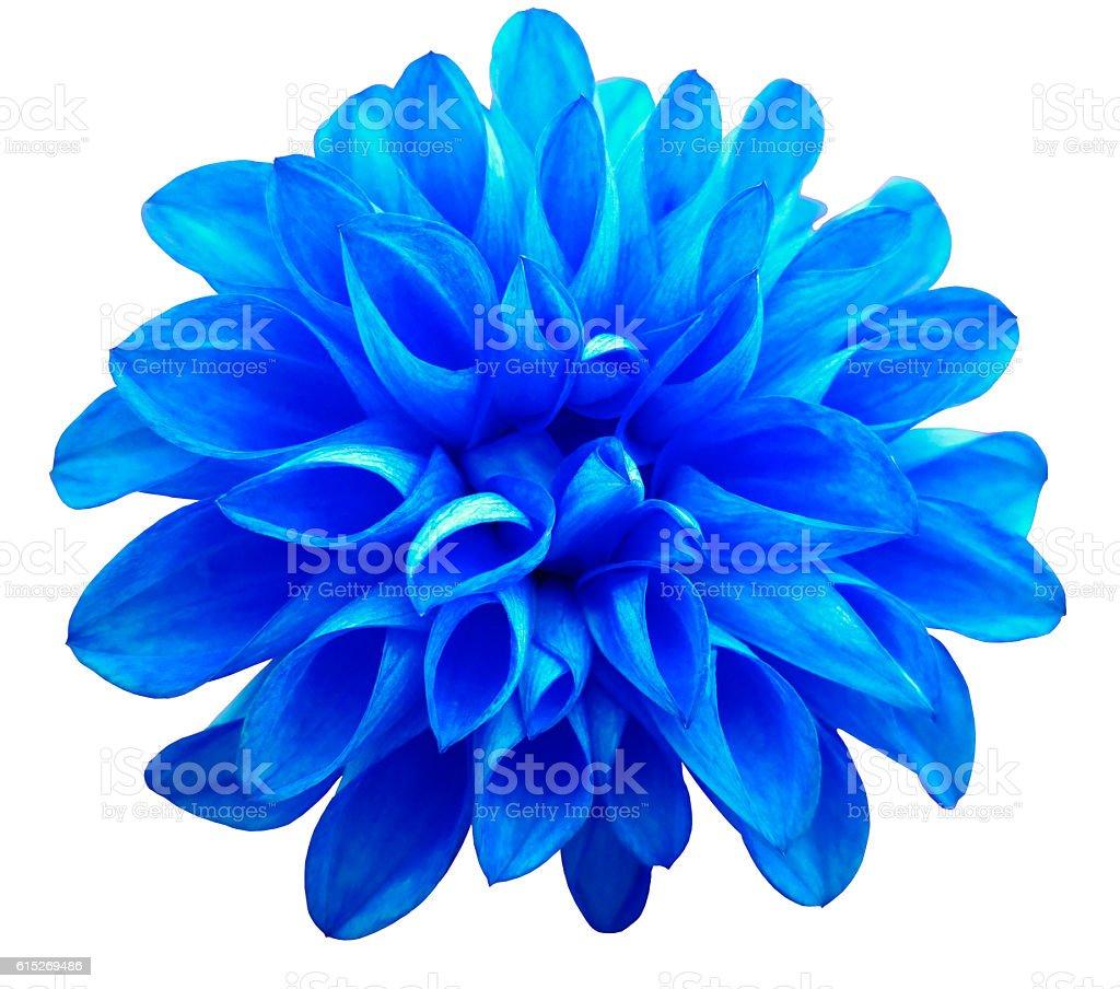 flower   blue  dahlia  isolated on white background. stock photo