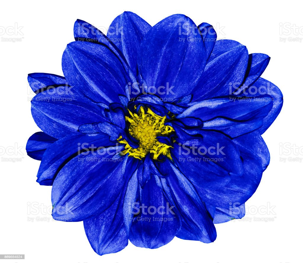 Flower Blue Dahlia On A White Isolated Background With Clipping Path