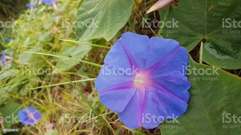 flor azul perto da praia de Preveza Grécia no verão de agosto - foto de acervo