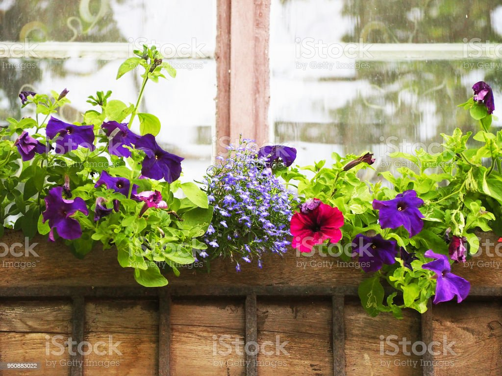 Blumenkasten Im Fenster Von Einem Gebäude Schöne Rosa Und Violette ...