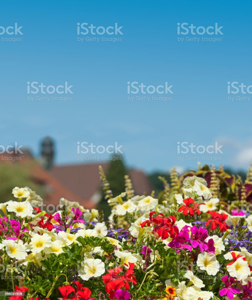 flower box with convolvulus hawkmoth