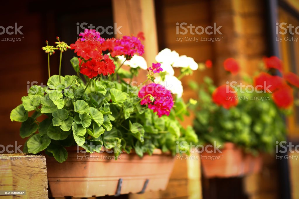 flower box with geranium flowers on cottage house porch summer close...
