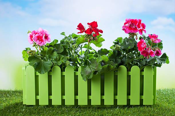 Flower box with geranium on grass stock photo