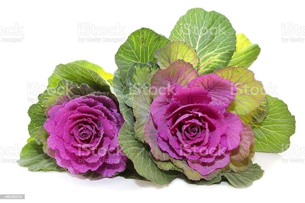 flower Brassica or kale flower stock photo
