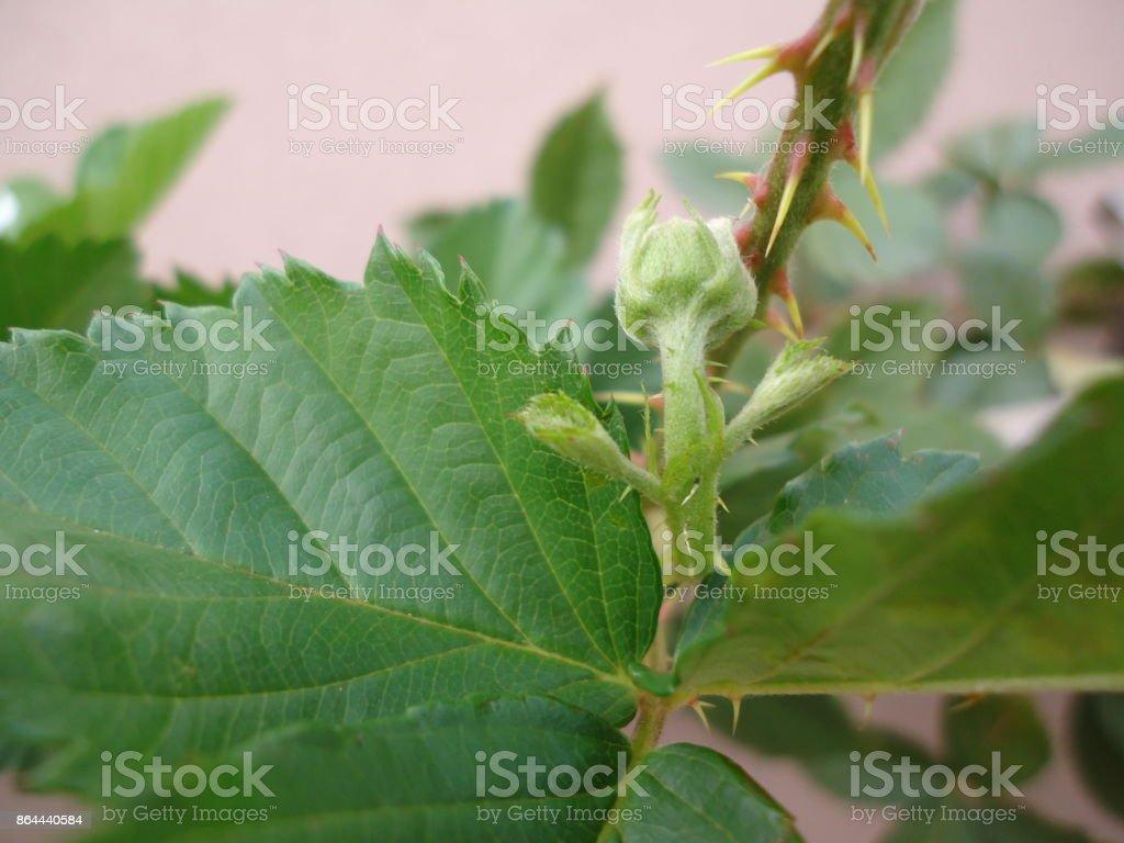 Flower bud - Blackberry stock photo