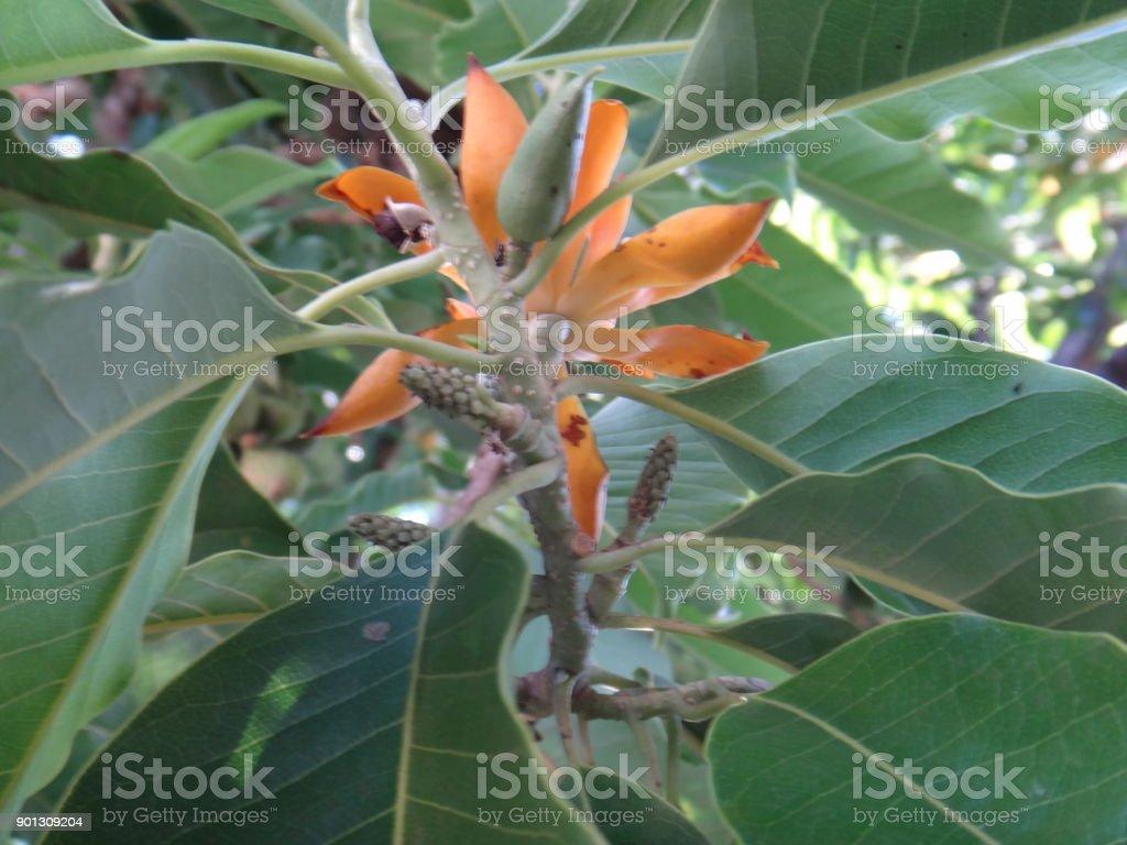 Flower bud - Branch of champak tree stock photo