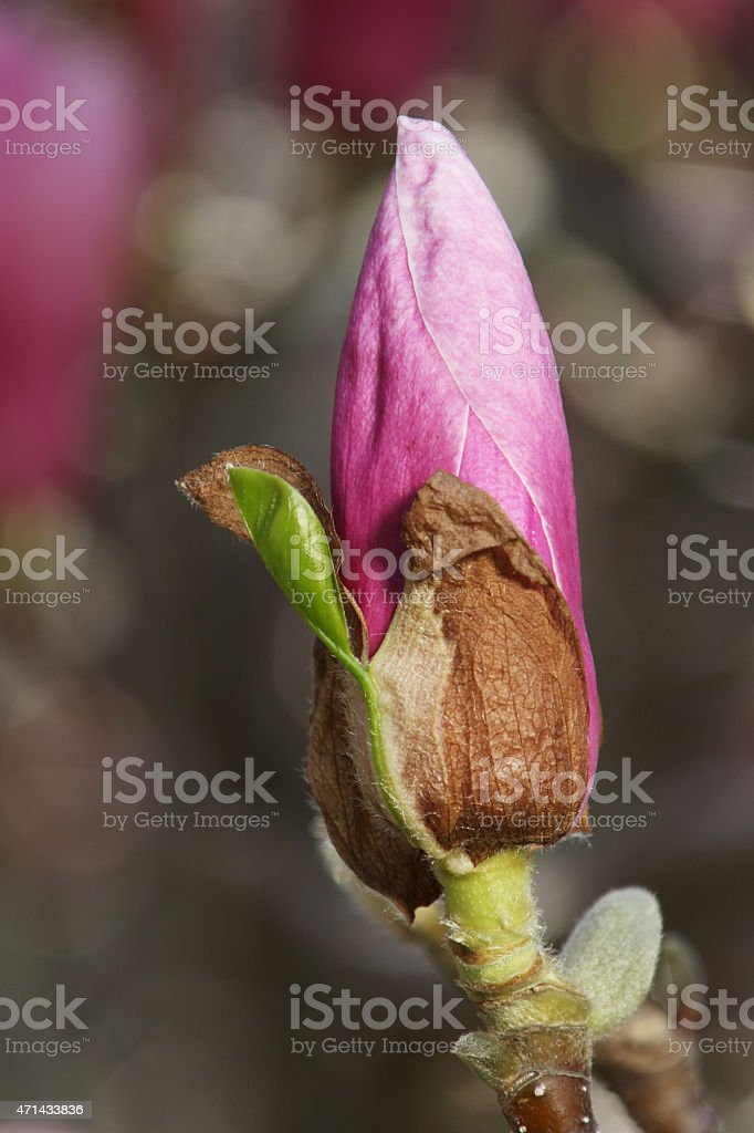 Flower Bud Of A Magnolia Tree Stock Photo More Pictures Of 2015