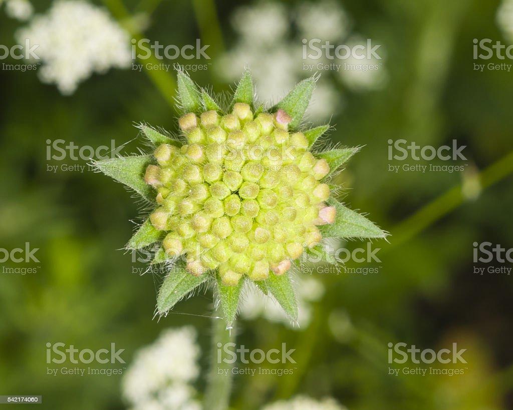 Flower bud of Field Scabious, Knautia Arvensis, macro, selective focus stock photo