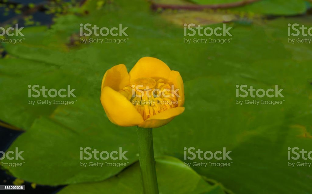 Flower bud of Yellow Water-lily. Least Water-lily grows naturally. stock photo