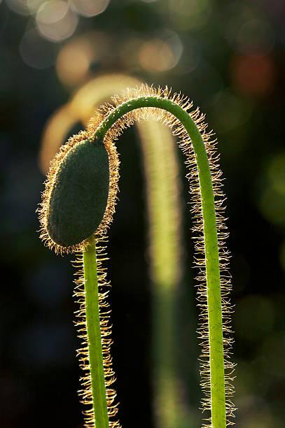 Blume Bud – Foto
