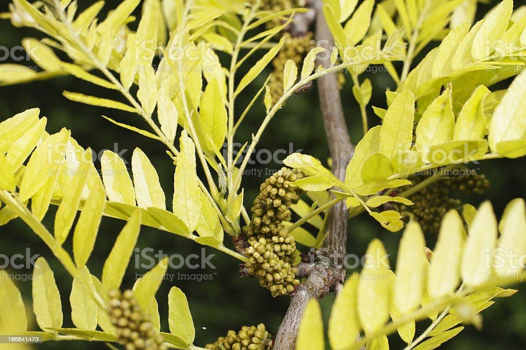 Flower buds honey locust tree Gleditsia triacanthos stock photo
