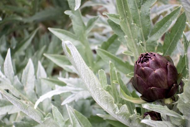 Blütenknospen von Artischockenpflanzen im Gemüsegarten – Foto