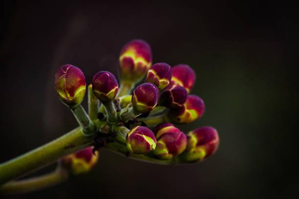 """botões de flores de pequi ou """"souari porca"""" (caryocar brasiliense) - pequi - fotografias e filmes do acervo"""