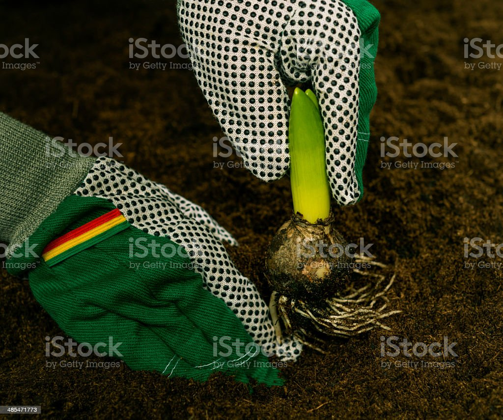 flower bulb in dirt royalty-free stock photo