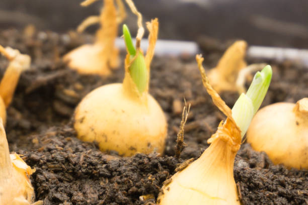 Flower bulbs in pots ready for planting in the flowerbed . Flower bulbs in pots ready for planting in the flowerbed plant bulb stock pictures, royalty-free photos & images