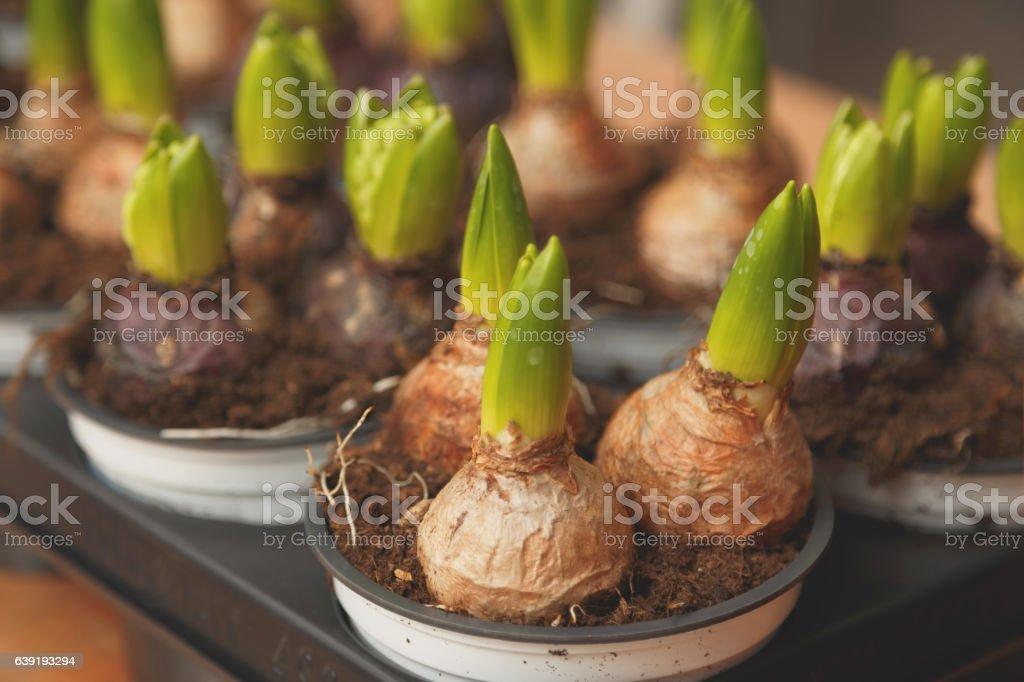 Flower bulbs in pots ready for planting in the flowerbed stock photo