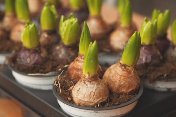 Flower bulbs in pots ready for planting in the flowerbed Flower bulbs in pots ready for planting in the flowerbed plant bulb stock pictures, royalty-free photos & images