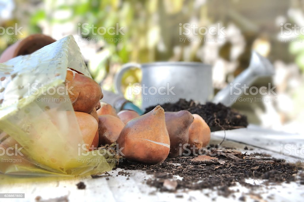 flower bulbs stock photo
