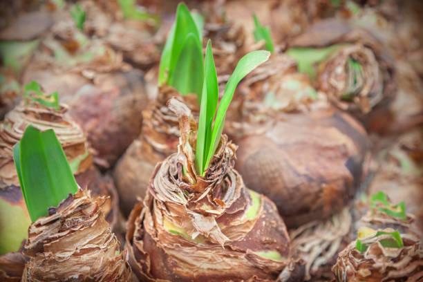 flower bulbs - plante à bulbe photos et images de collection