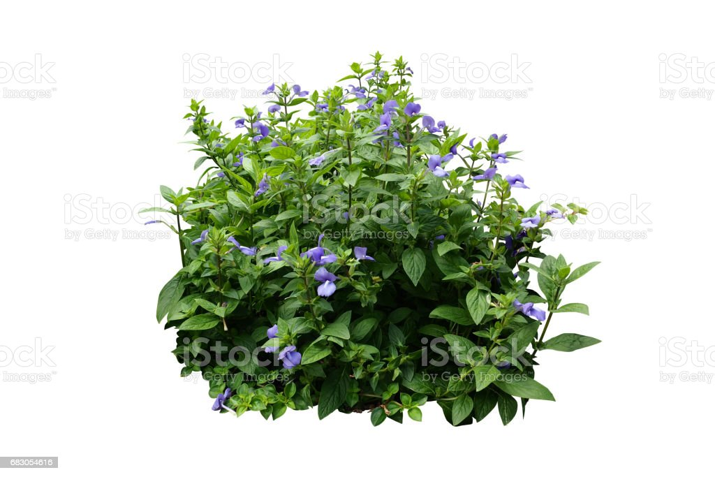 flower bush tree isolated with clipping path foto de stock royalty-free