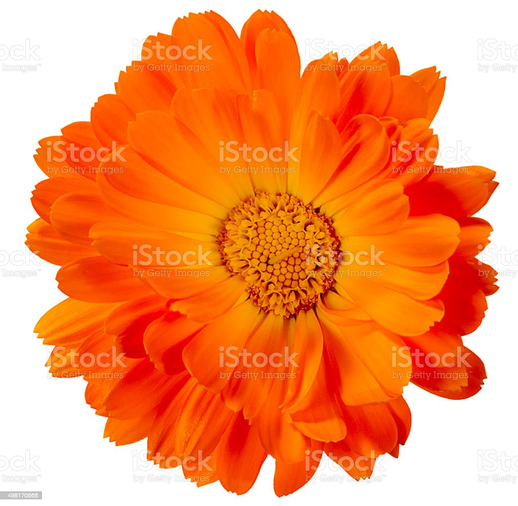 flower calendula stock photo