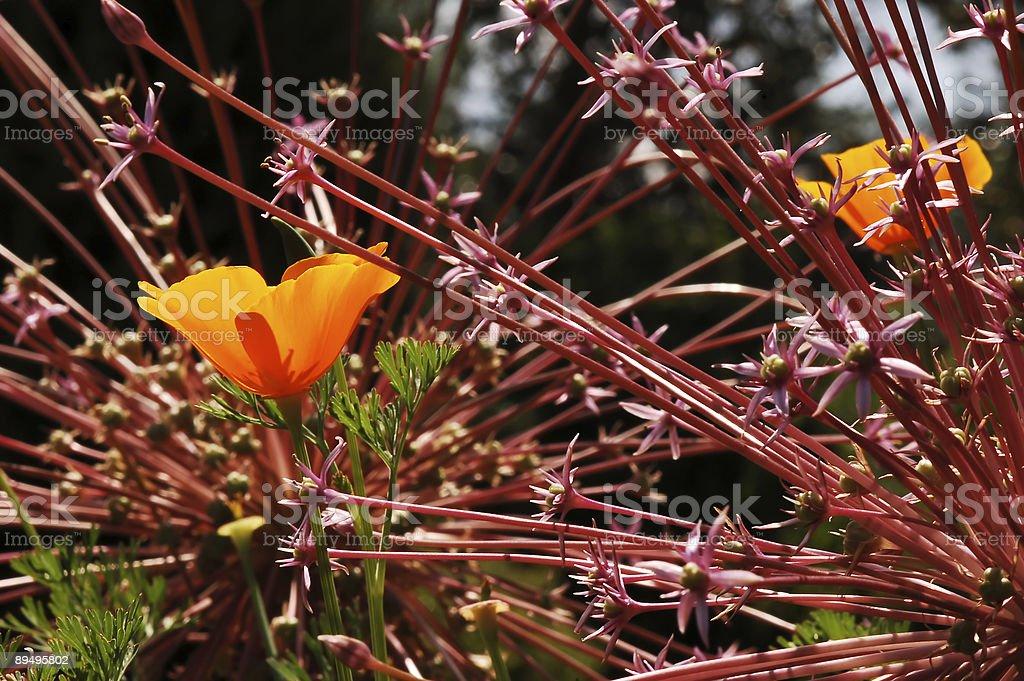 Flower, California Golden Poppy royalty free stockfoto