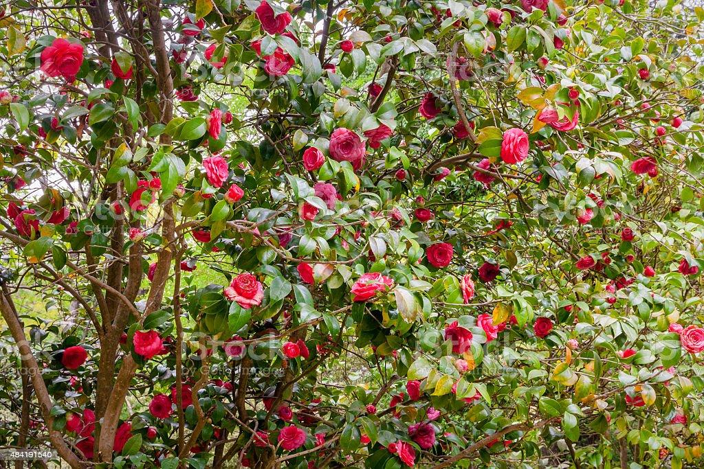 Flower camellia japonica stock photo