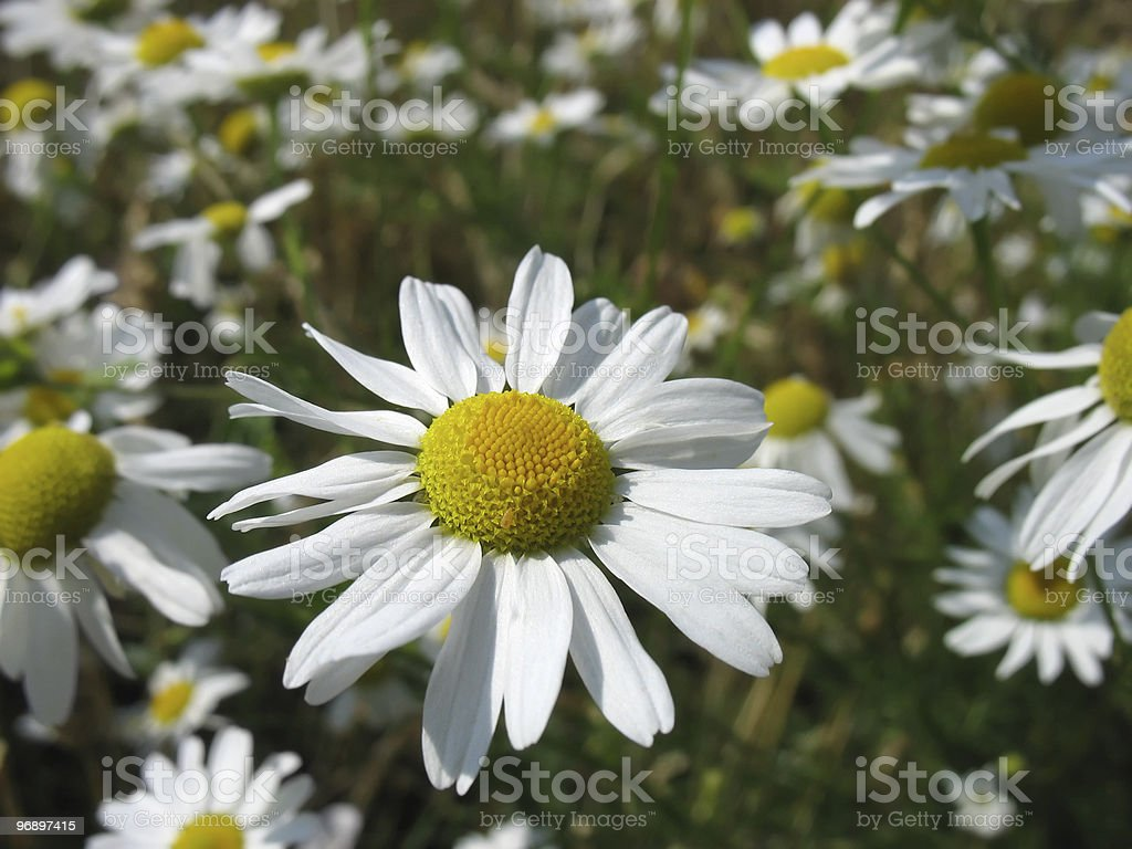 Flower  camomile. Close-up. royalty-free stock photo
