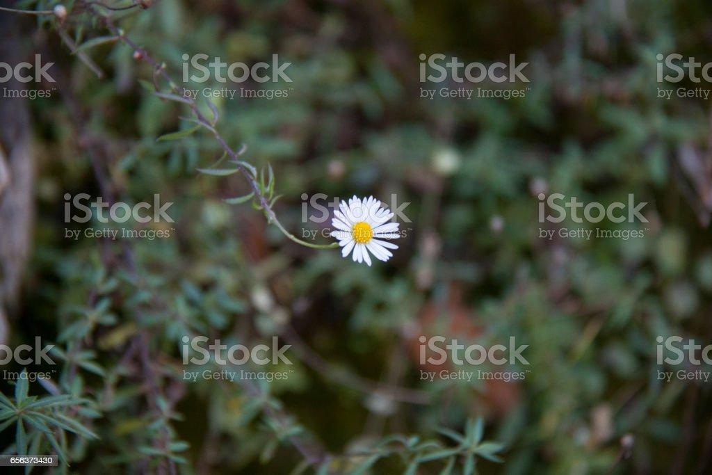 Flower, camomile стоковое фото