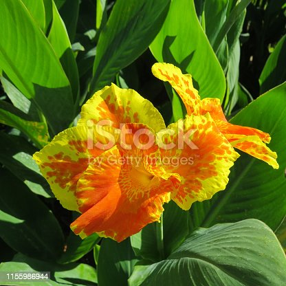 Flower Canna Yellow King Humbert with yellow petals and red spots on them against the background of green leaves. Bright sunshine. View from above. Postcard.