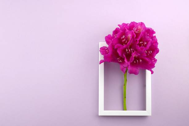 flower card. flower frame. bright pink rhododendron flower on a purple background.top view,copy space.mothers day. international women's day. - womens day stock photos and pictures