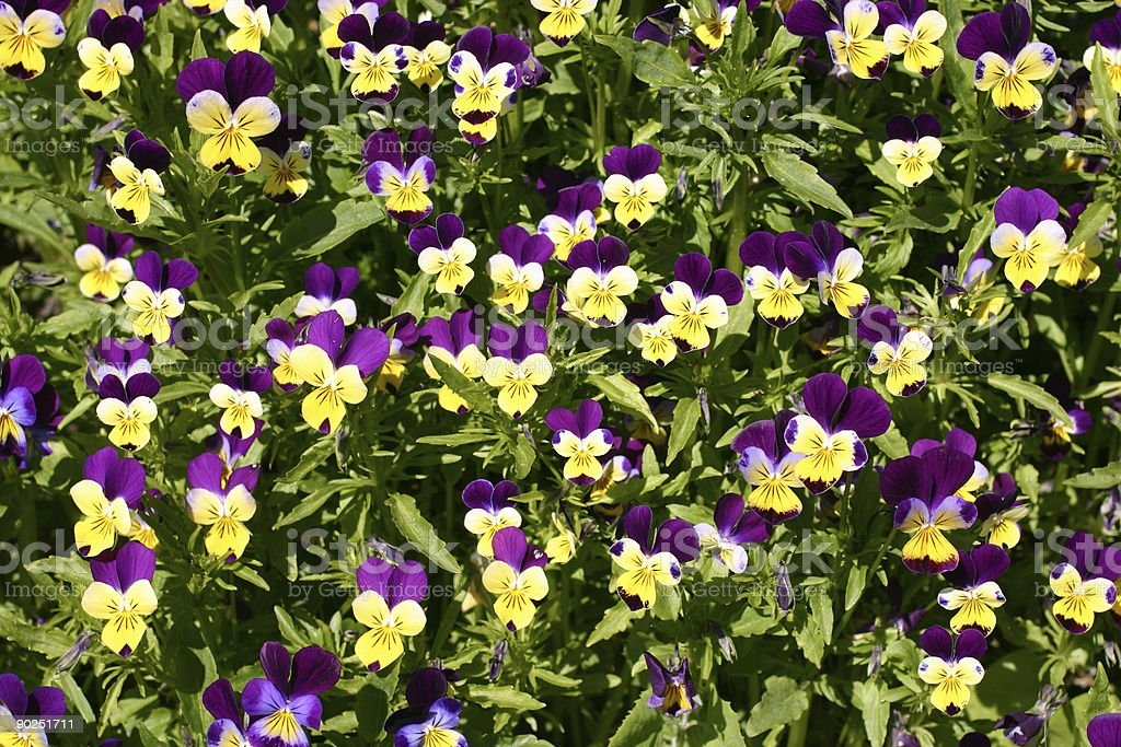 Flower carpet of Viola tricolor or wild pancy royalty-free stock photo