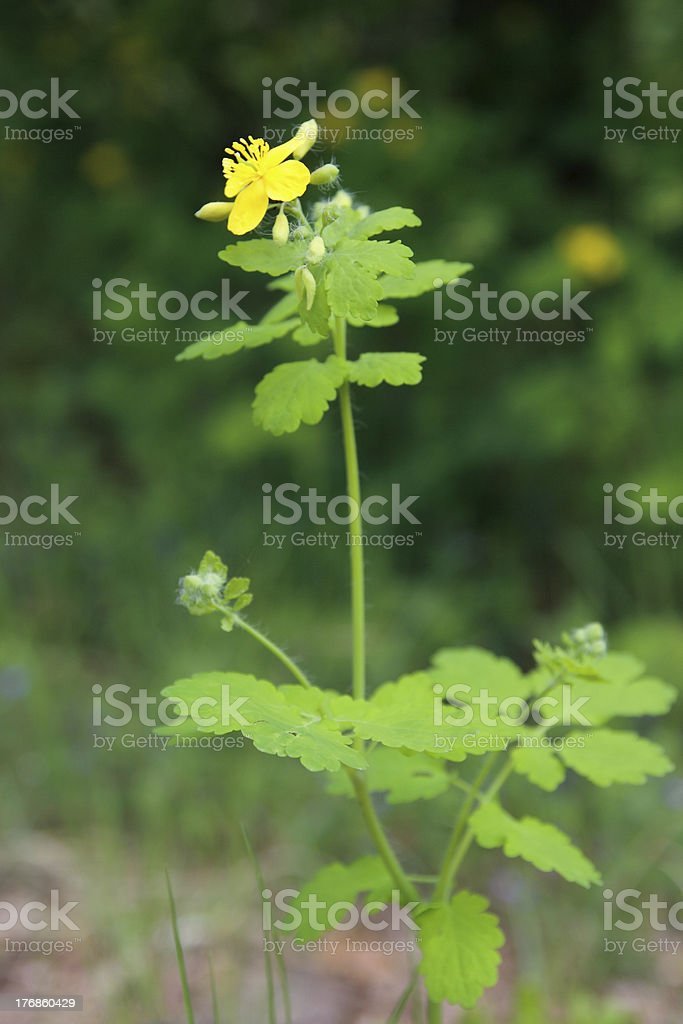 Flower celandine (Lat. Chelidonii majoris herba). royalty-free stock photo
