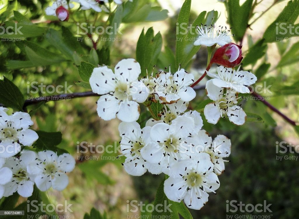Flower - Cherry Blossom stock photo