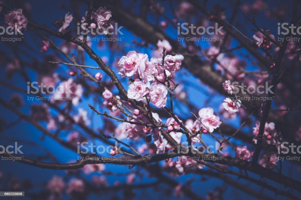 flor de cerezo de flor foto de stock libre de derechos