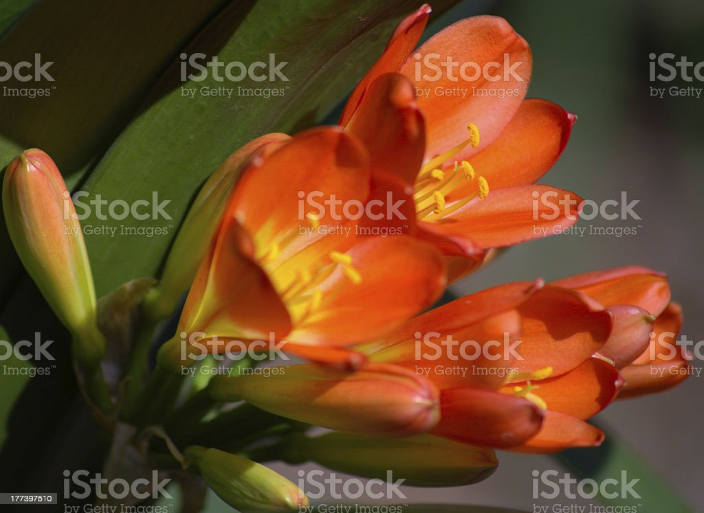 Flower Clivia Miniata stock photo
