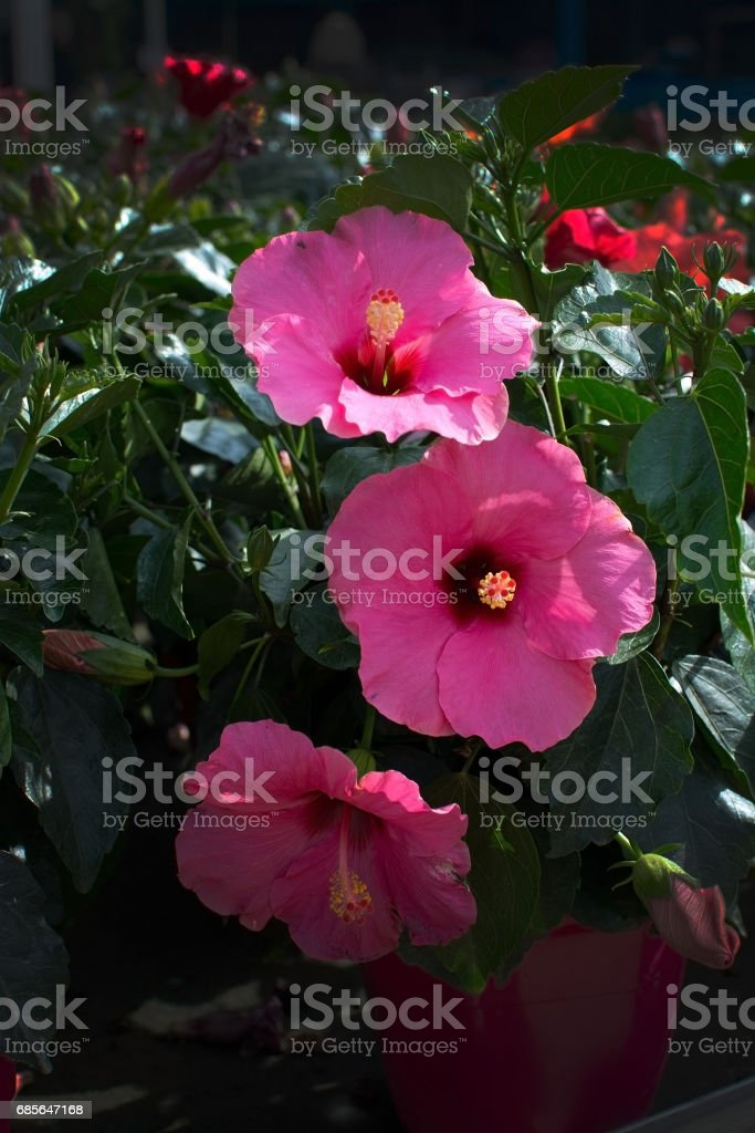 flower closeup isolated royalty-free stock photo